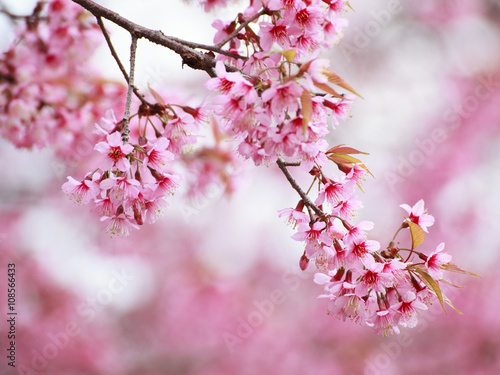 The beautiful Pink Sakura flower blooming