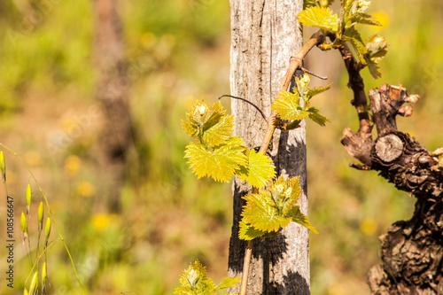 Fotobehang Wijngaard Shoots of vines in spring.