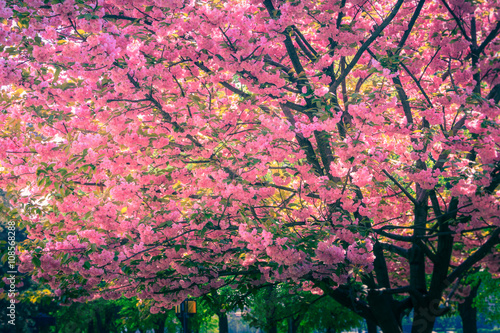 Majestically blossoming sakura trees.