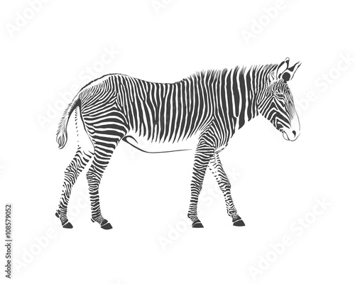 Tuinposter Zebra zebra, black and white illustration