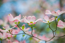 Pink Dogwoods In Bloom With Bl...