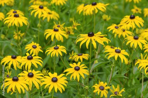 Fotografija  Black eyed susan- rudbeckia flowers