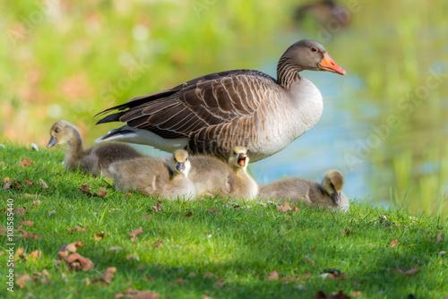 Graugans (Anser anser) Mutter mit ihren 4 Küken