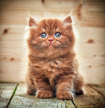 Beautiful British Long Hair Kitten