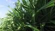 green wild plant on sri lanka