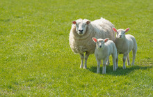 Ewe With Her Lambs Posing In The Meadow