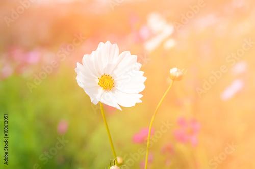 Fototapeta white cosmos flower in sunlight in morning obraz na płótnie