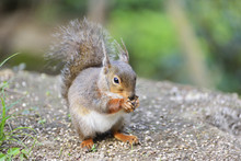 Squirrel Eating Nuts.