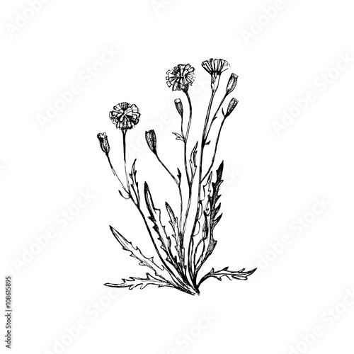 Valokuva  Coltsfoot  flowers, Hand drawn vector Illustration.