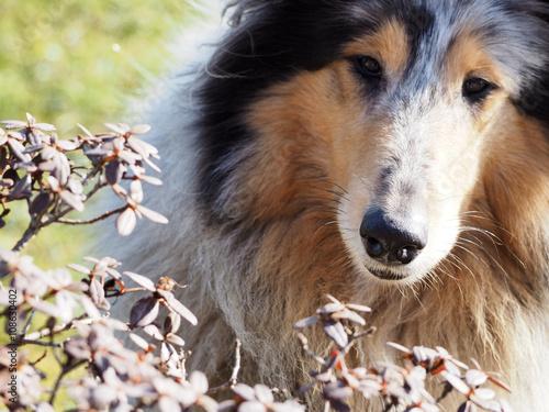 Aluminium Prints Dog Herdershond kijt in camera met bloemen op de voorgrond