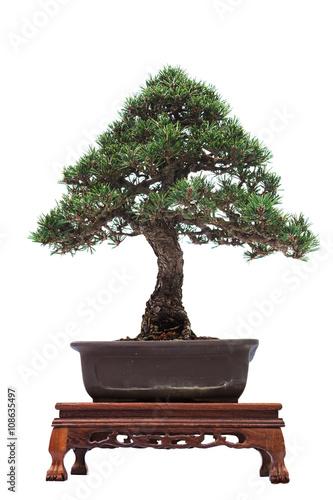 Fotobehang Bonsai Bonsai pine tree against a white wall