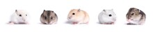 Collection Of Jungar Hamster O...