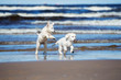 two golden retriever puppies on a beach