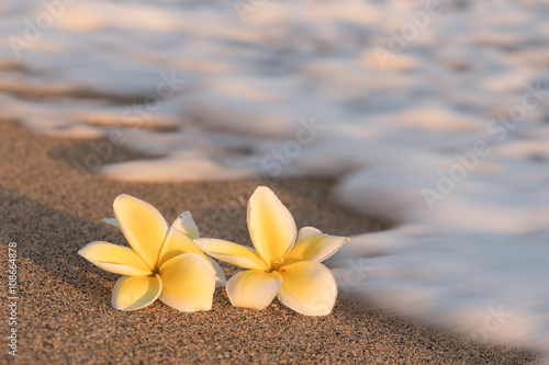 Plumeria Plumeria flowers on the shore with blurry foam wave