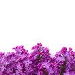 purple lilac flowers isolated over white background