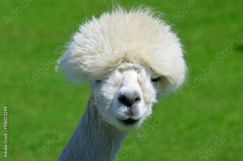Fotobehang Lama Alpaca is a domesticated species of South American camelid. It resembles a small llama in appearance.Alpacas are kept in herds that graze on the level heights of the Andes of southern Peru