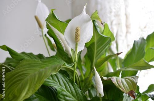 Fotografia  peace lily flower