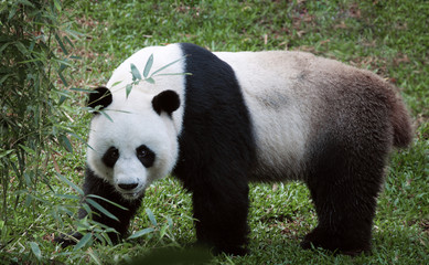 Fototapeta Panda portrait of nice panda bear walking in summer environment