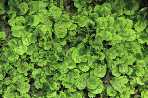 Thallose liverwort, Conocephalum conicum, on moist rock in Glastonbury, Connecticut.