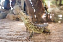 Close-up Of A Sungazer, Giant Girdled Lizard