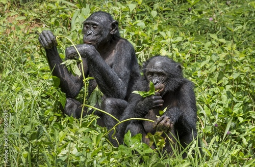 Keuken foto achterwand Buffel Bonobos (Pan Paniscus) on green natural background.
