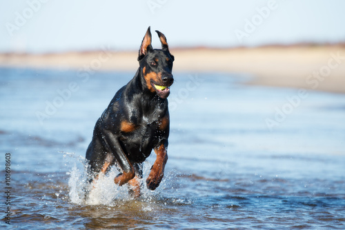 Photographie doberman dog on the beach