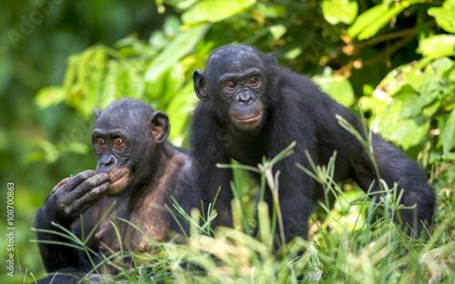 Carta da parati Bonobos in natural habitat