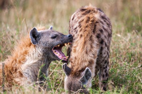 Poster Hyène Portrait playing two hyenas (Crocuta crocuta),