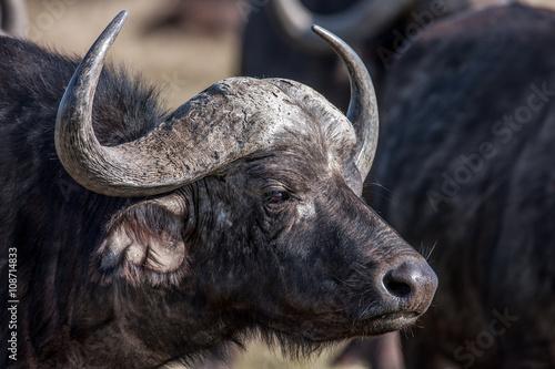Keuken foto achterwand Buffel Profile african buffalo cow (Syncerus caffer) portrait, Africa