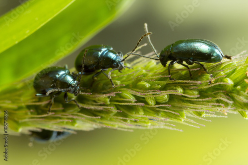 Macro Photo 3 shiny flea beetles Poster