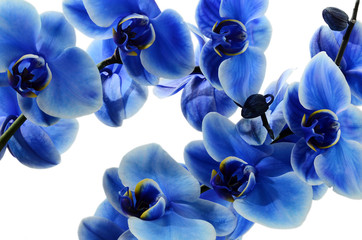 FototapetaOrchid blue flower