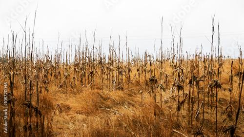 Fotografie, Obraz  Draught Corn Field