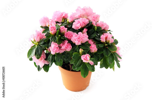 pink azalea bush on white isolated background