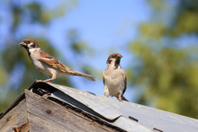 A Pair Of Sparrows Birds Parents Came To The Old Wooden Roof To Feed Chicks On Caterpillars
