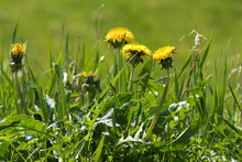 Weed In The Lawn, Dandelion Wi...
