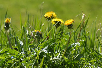 weed in the lawn, dandelion with yellow flowers
