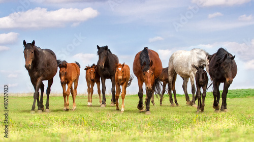 obraz dibond Horse herd run on spring pasture against blue sky