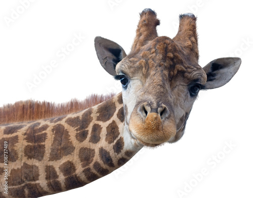 Spoed Foto op Canvas Giraffe Giraffe head face