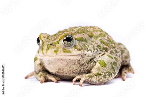 Fotografie, Obraz  Rospo smeraldino isolato su sfondo bianco