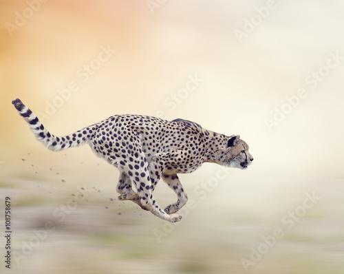 Fotografie, Obraz  Cheetah (Acinonyx jubatus) Running