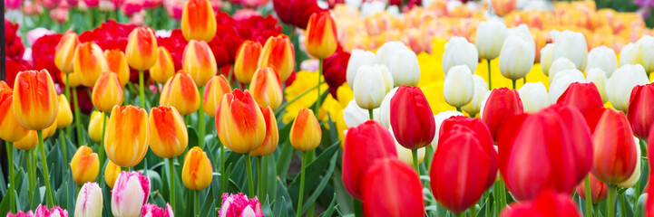 Panel Szklany Panorama Vibrant colorful holiday or birthday panoramic background with tulip flowerbed, red, yellow, white, Keukenhof flower garden, Netherlands, Holland