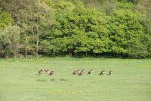 Herd Of Moufflon