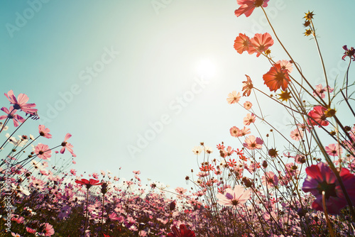 Fotografering  Vintage landscape nature background of beautiful cosmos flower field on sky with sunlight