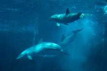 Common Bottlenose Dolphin (Tursiops Truncatus).