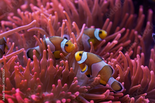 Ocellaris clownfish (Amphiprion ocellaris). Tablou Canvas