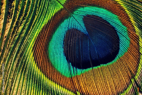 Peacock feather eye close up view