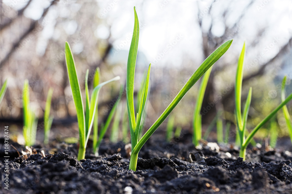 Fototapety, obrazy: Young small green sprouts