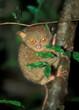 Tarsier: World smallest monkey. Das kleinste Äffchen der Welt, de