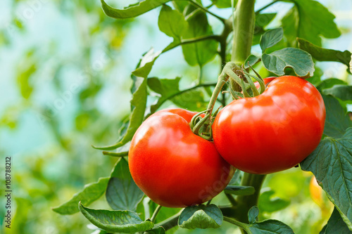 Cuadros en Lienzo Ripe tomato cluster in greenhouse