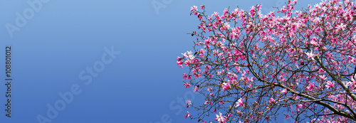 Foto op Plexiglas Magnolia Spring Magnolia Blossoms Against Blue Sky Background